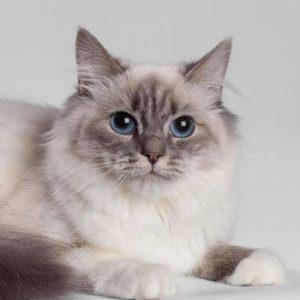 Портрет маскарадной кошки из шерсти