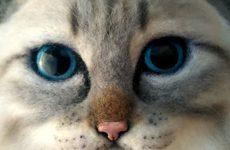 Распускаем шерсть у Маскарадной кошки
