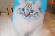 Разукрашиваем шерсть у Маскарадной кошки